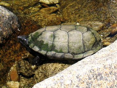 Shell Near Me >> Sonoran Mud Turtle