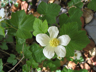 New mexican raspberry new mexican raspberry typically blooms between may september and produces white flowers with 5 petals to 3 inches in width with a yellow center mightylinksfo
